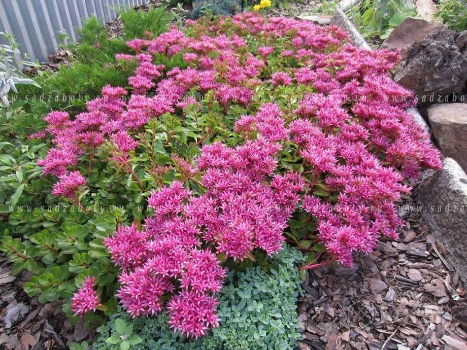 Почвопокровные многолетние растения, цветущие все лето: фото