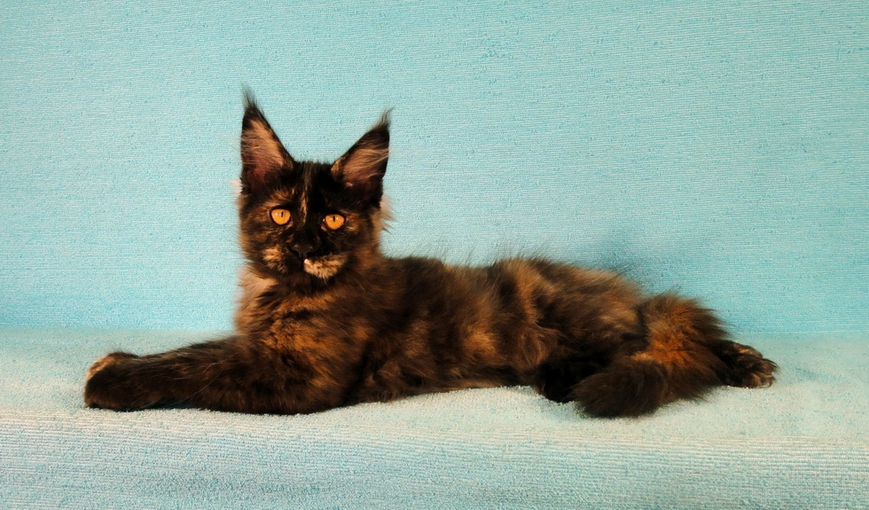 Купить котенка мейн кун московская область