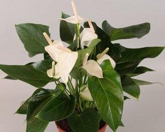 Цветок алексия