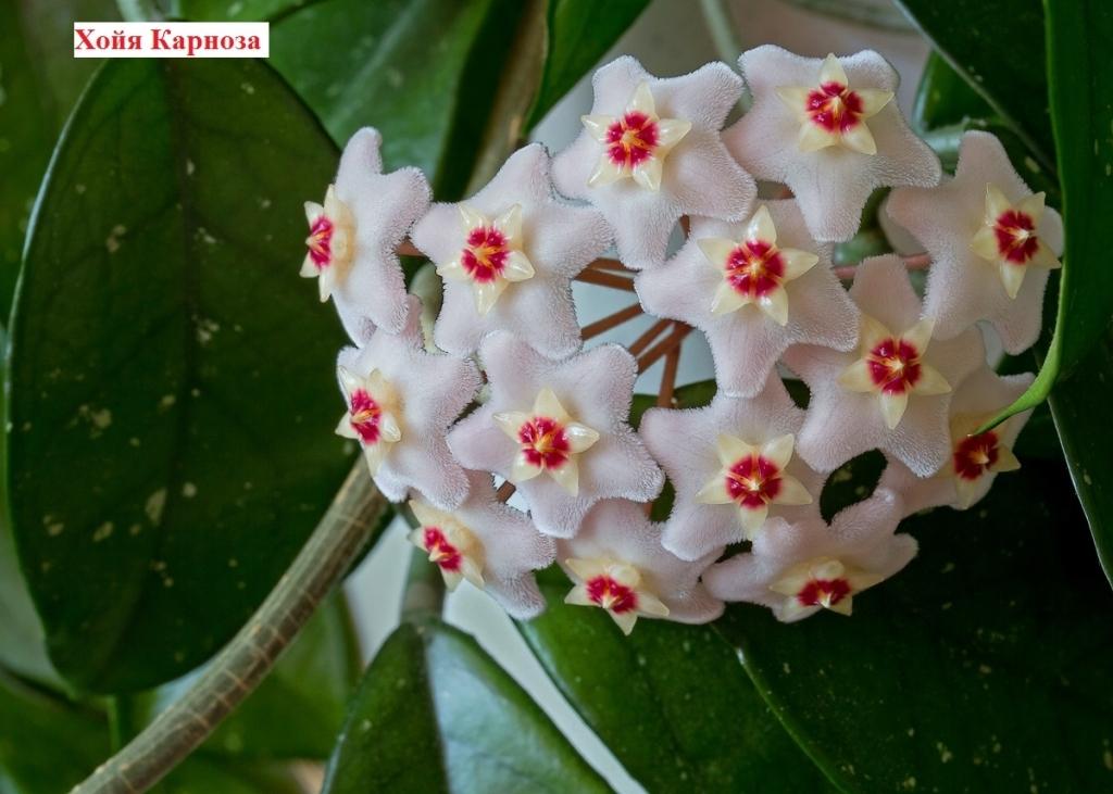 Хойя карноза - домашние растения