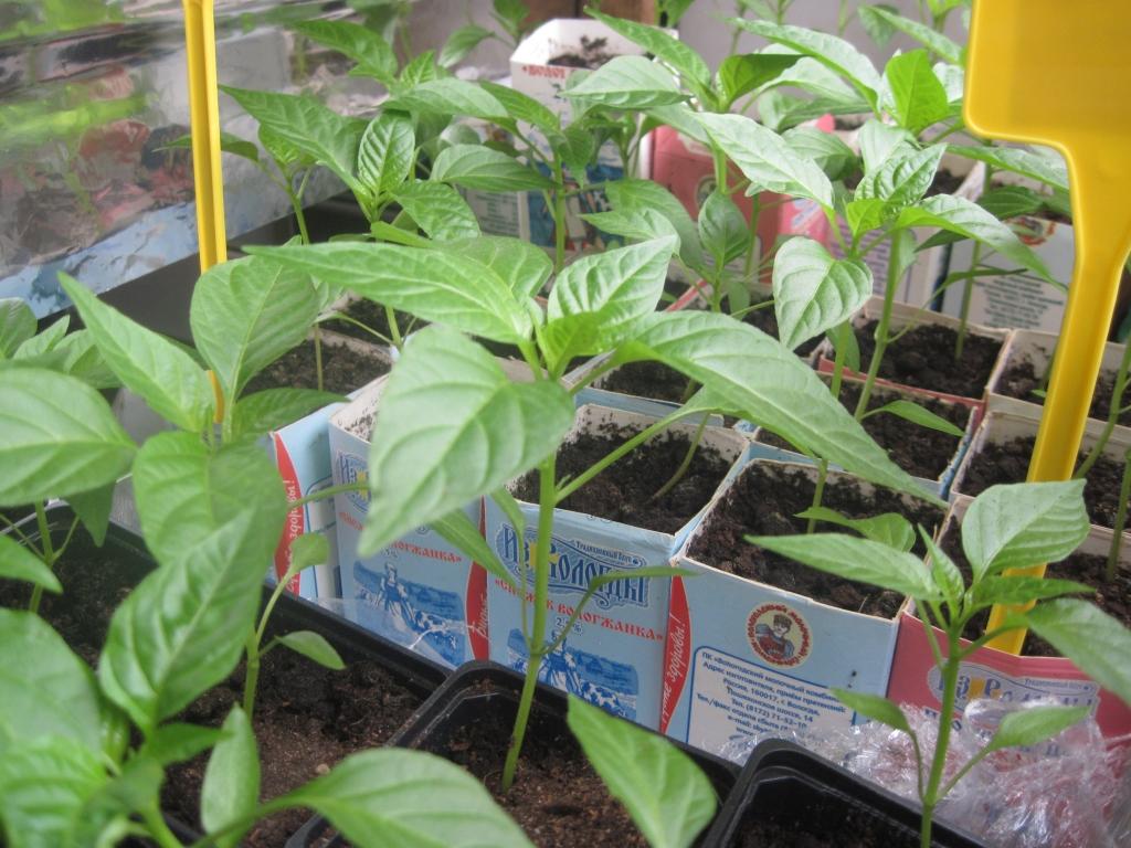 Сыворотка для рассады перцев и томатов