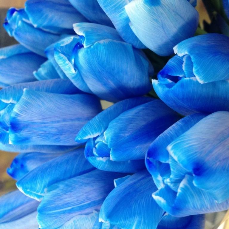 синий тюльпаны фото смотреть соорудить для себя